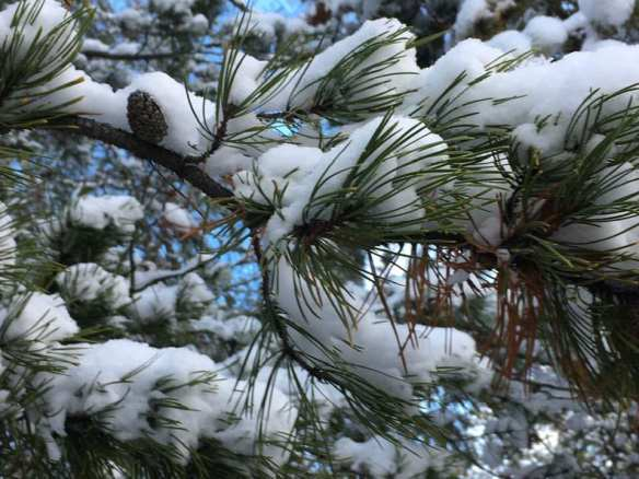 2018 DEC 24 Pine Tree
